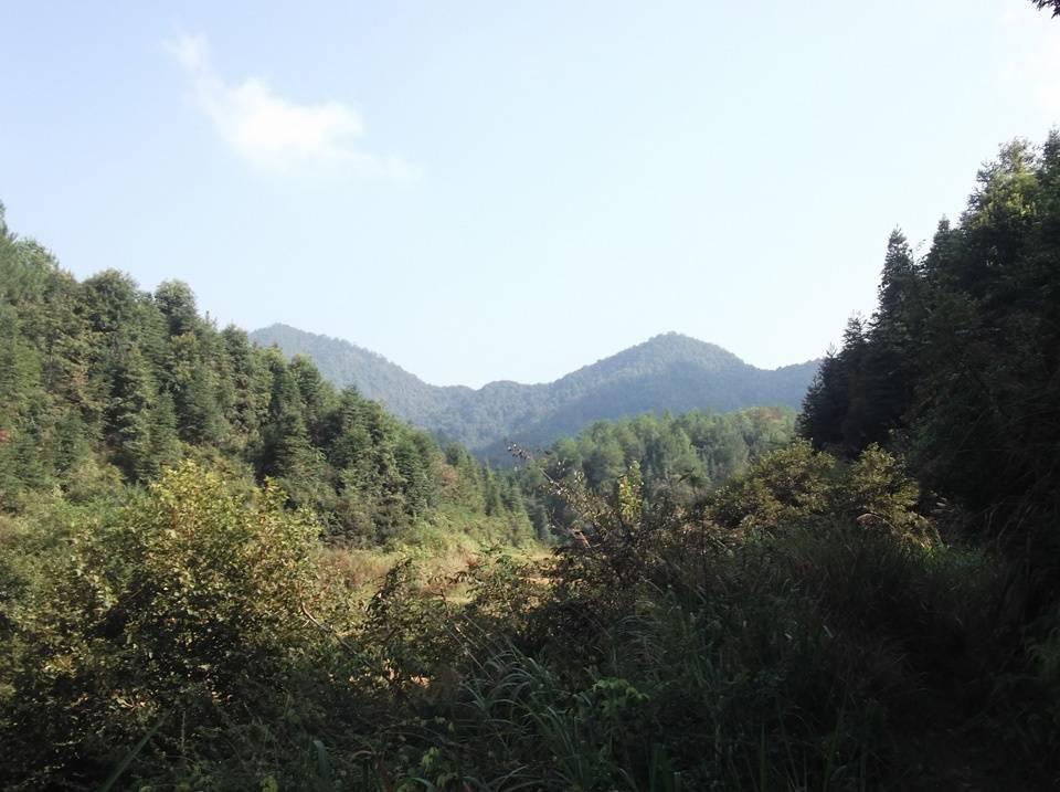 兴村深山的野生灵芝