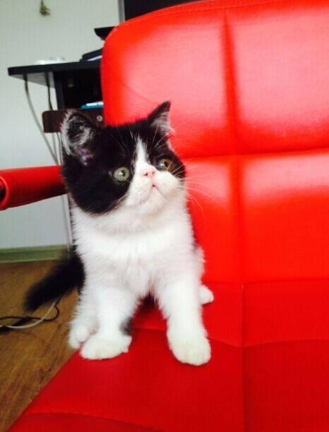 家养高品质加菲猫最后几只咯 喜欢的联系