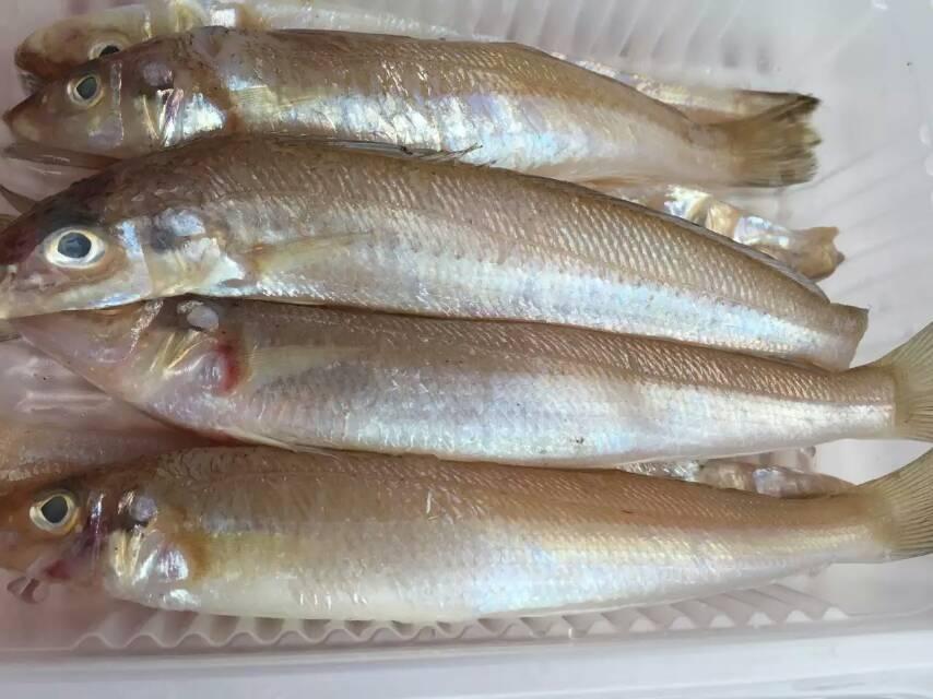 东山岛海鲜 金梭鱼 沙梭鱼