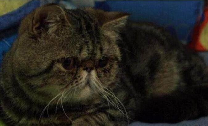 两岁加菲猫带肚低价出售