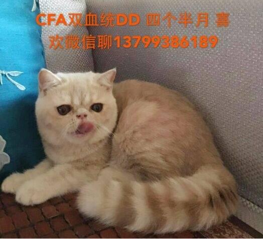 自家繁育CFA加菲猫4500元 鱼鱼集市